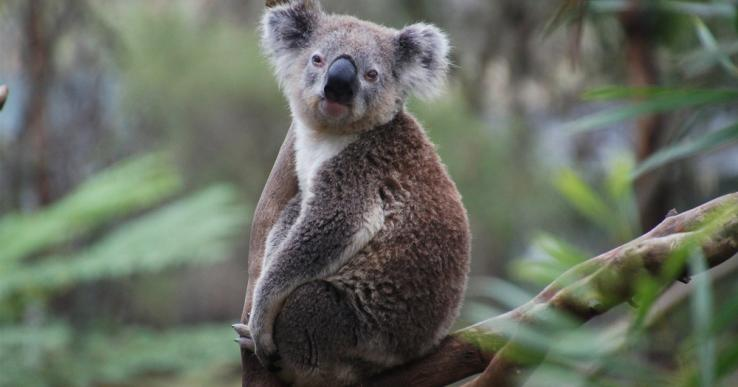 koala bear eucalyptus